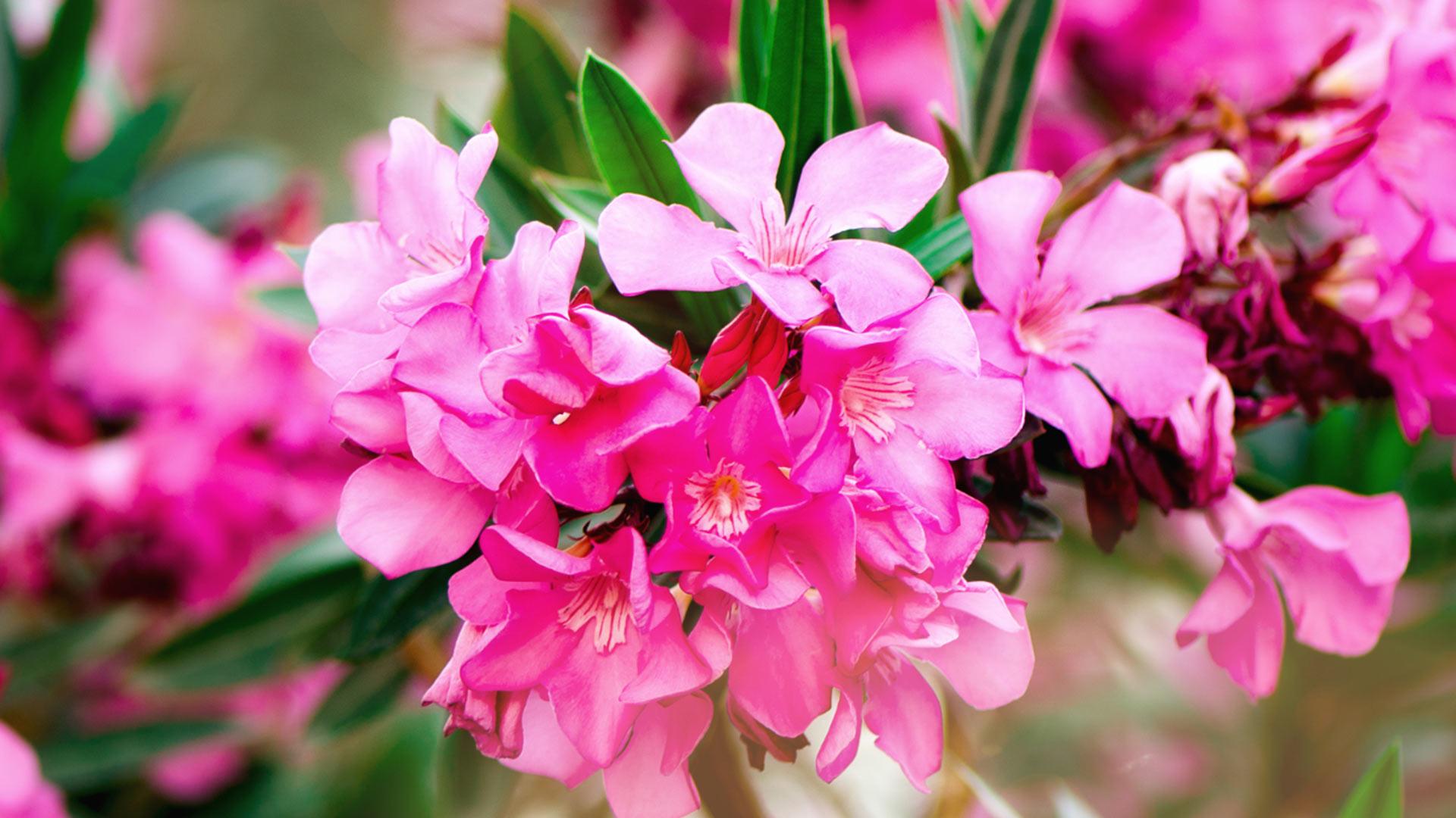 Oleander überwintern: So geht's richtig einfach desmondo garten