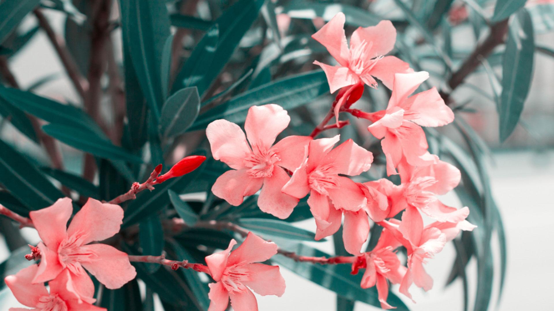 Oleander überwintern - So geht s Tipps und Tricks von desmondo