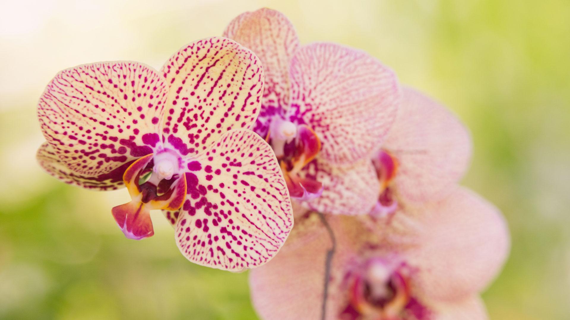 Orchideen pflegen - so geht es Richtig einfach desmondo garten