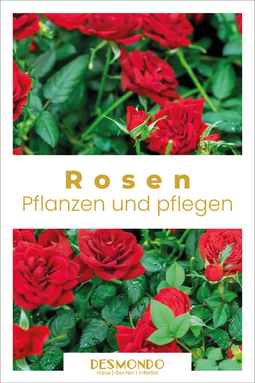 Rosen schneiden: So einfach geht das