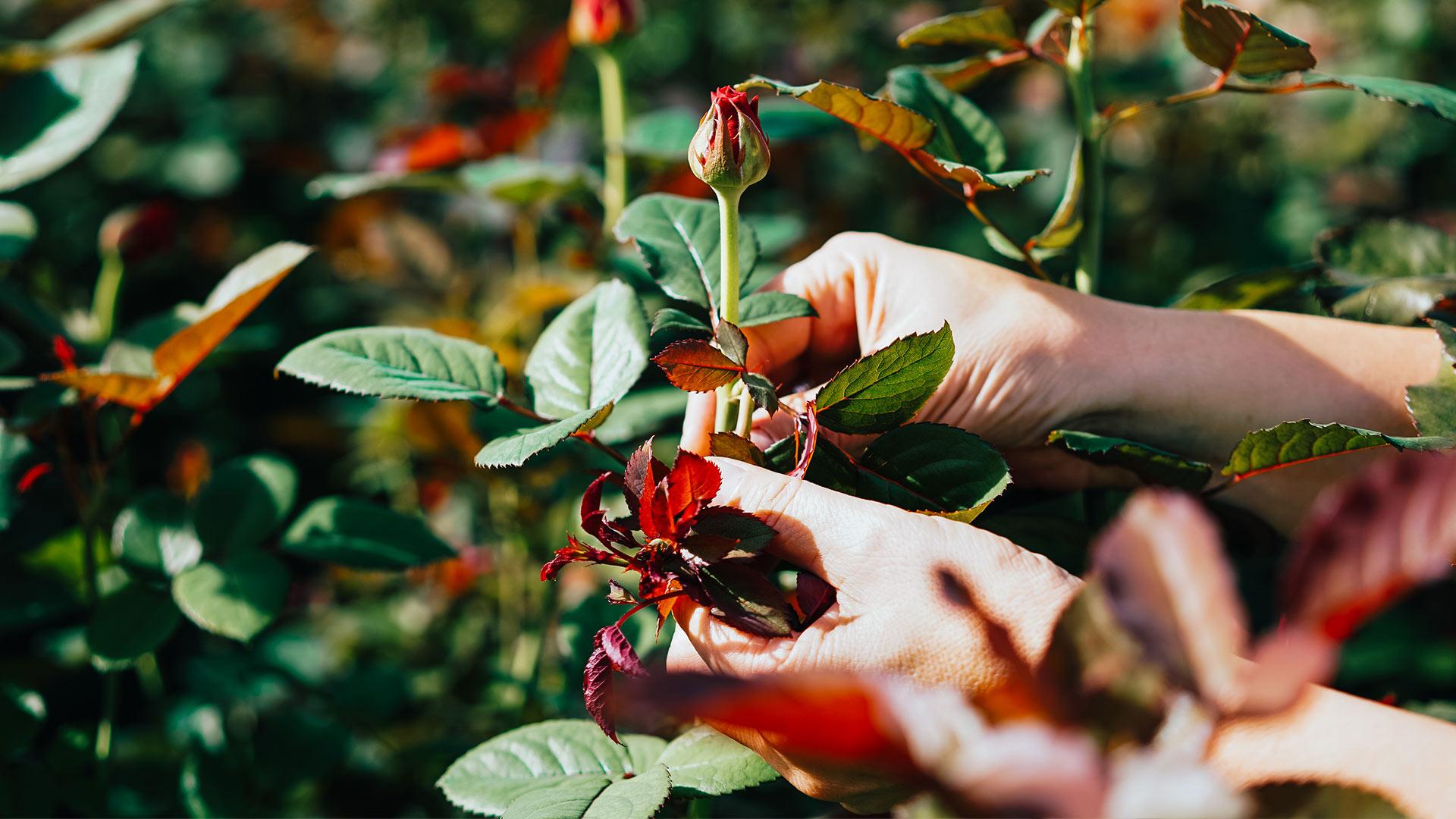 Rosen schneiden: So einfach geht das einfach desmondo garten