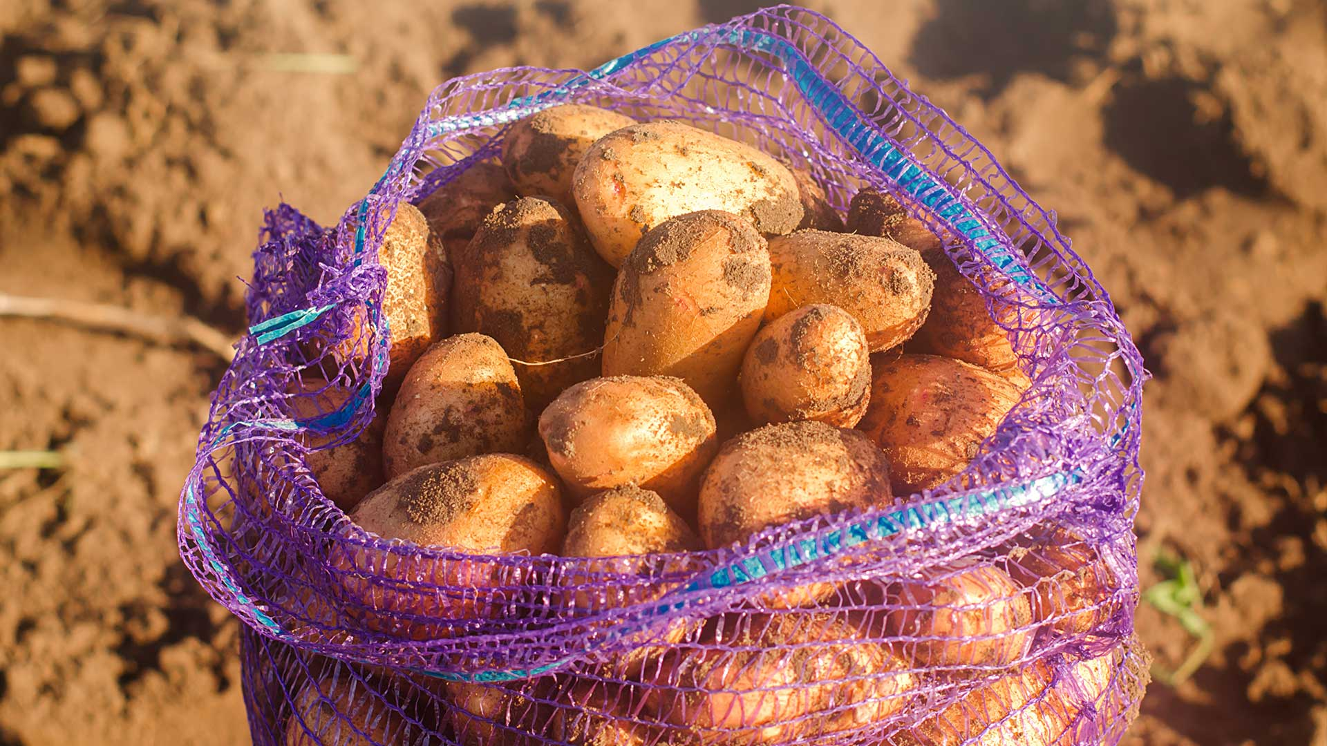 Kartoffeln anbauen leicht gemacht. so geht es einfach desmondo garten