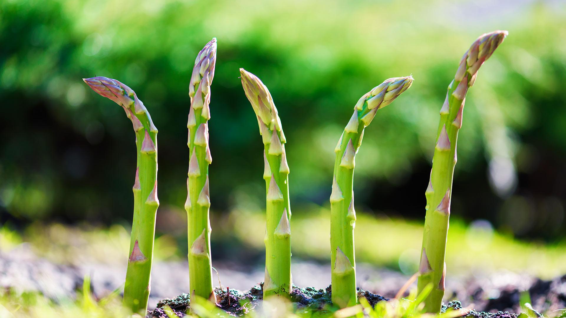 Der Spargel - Das Kultgemüse im Frühjahrm einfach gesund desmondo