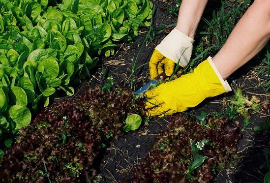 Der Kopfsalat - pflanzen, pflegen und ernten