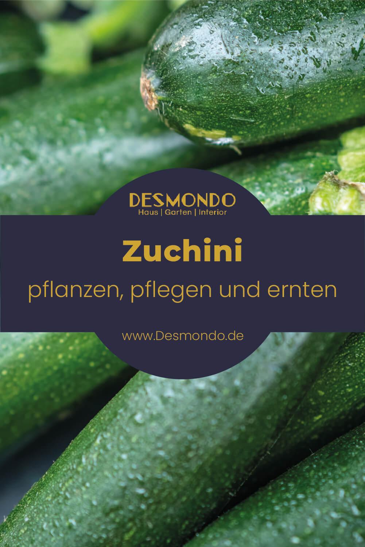 Zucchini pflanzen, pflegen, ernten