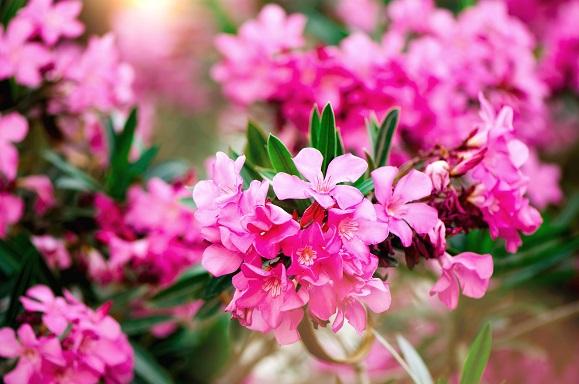 gartentrends 2021 oleander pflanzen desmondo