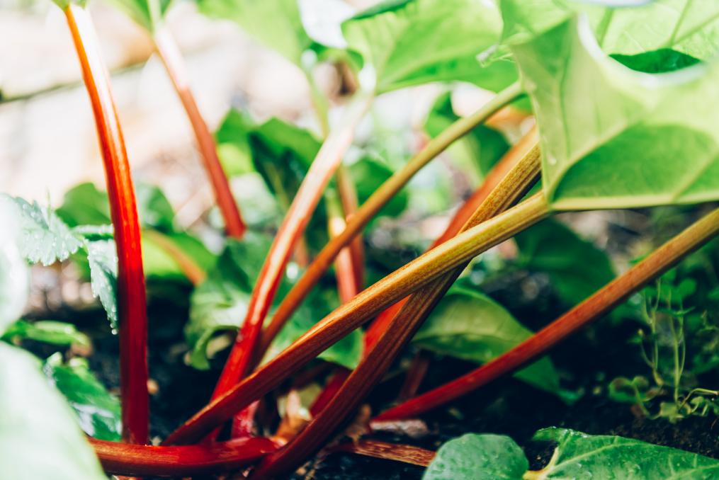 Rhabarber: Pflanzen und pflegen