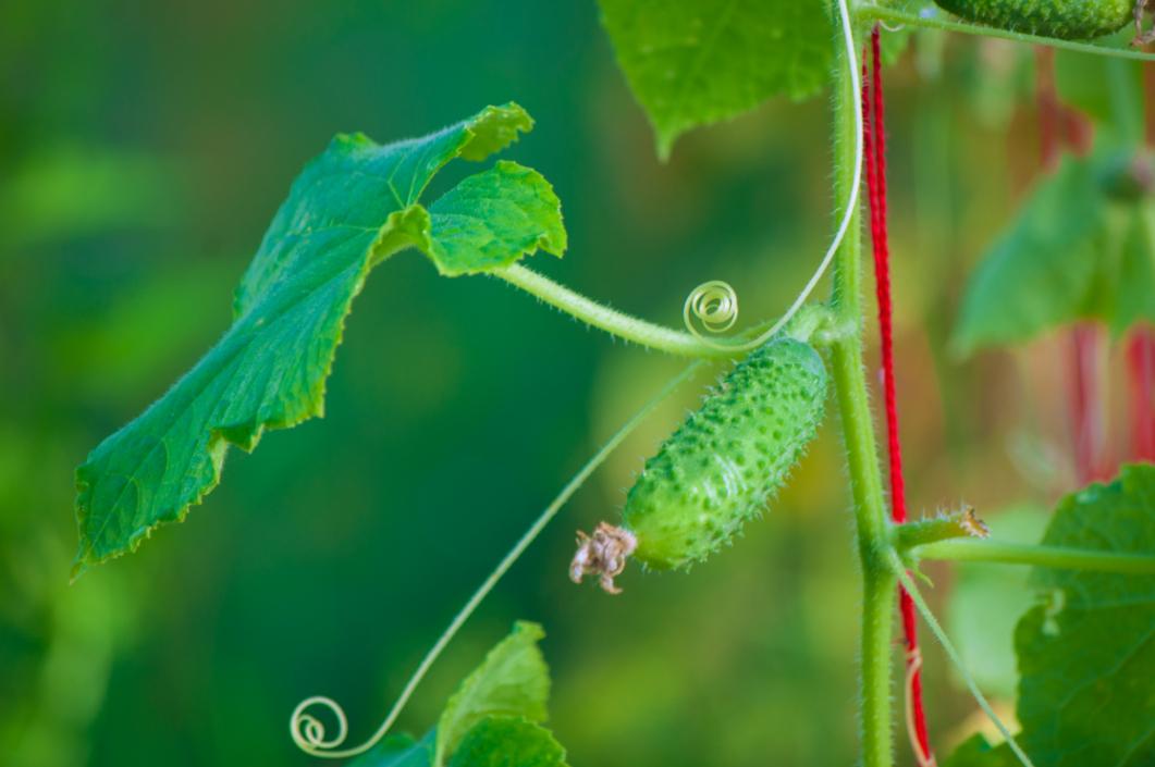 Outdoor - Inspirationen für Balkon und Garten - Vielseitiges Gemüse: Salatgurke pflanzen und ernten - so geht's einfach desmondo