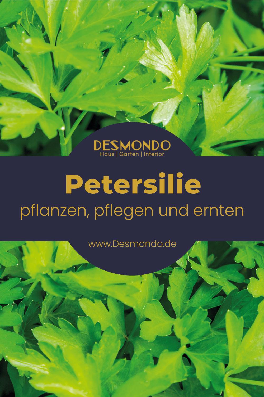 Outdoor - Inspirationen für Balkon und Garten - Petersilie: Garnierkraut selbst angebaut! - so geht's einfach desmondo