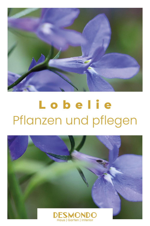 Outdoor - Inspirationen für Balkon und Garten - Floraler Zauber durch die Blaue Lobelie - so geht's einfach desmondo