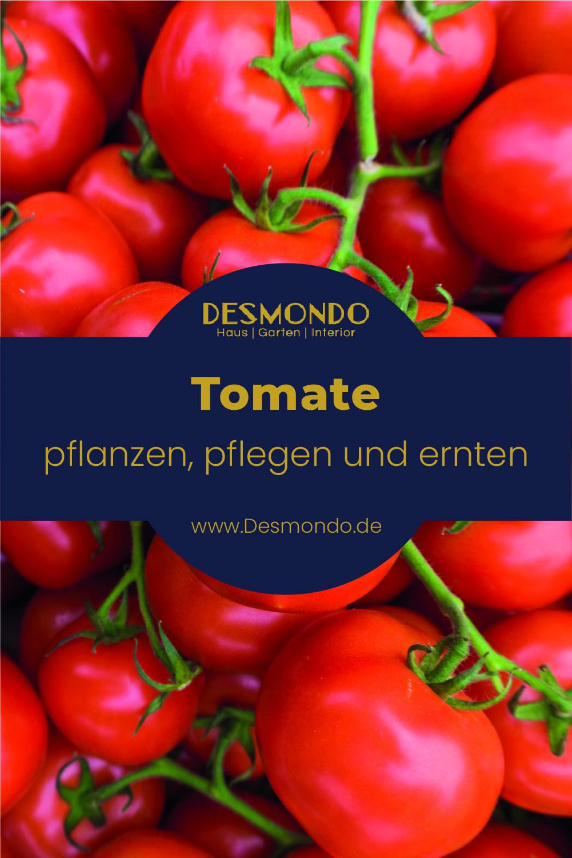 Outdoor - Inspirationen für Balkon und Garten - Tomaten im eigenen Garten anpflanzen - so geht's einfach desmondo
