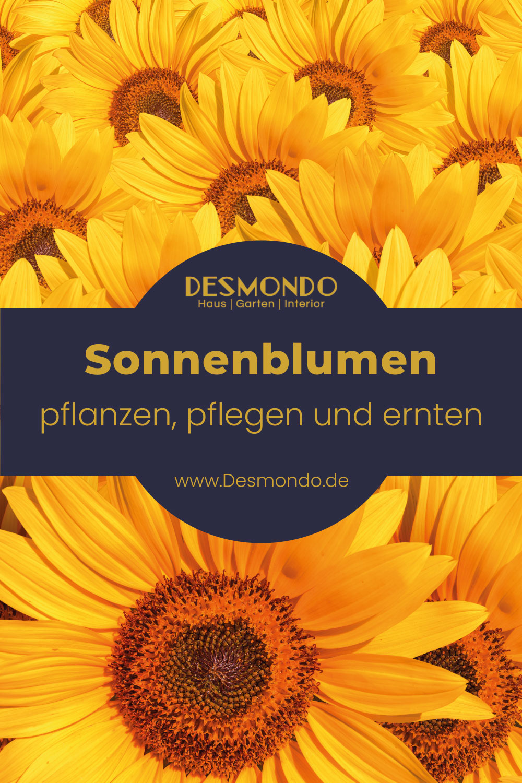 Outdoor - Inspirationen für Balkon und Garten - Die Sonnenblume: Pflanzen, pflegen und ernten - so geht's einfach desmondo