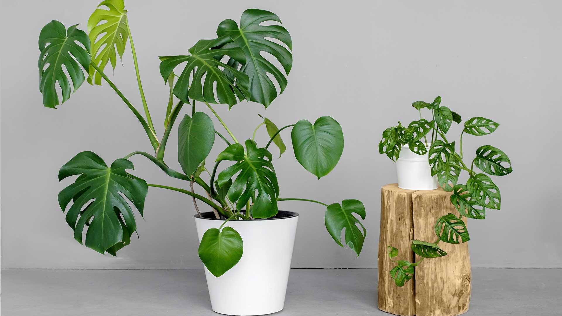 Indoor - Inspirationen für deinen Wohnraum - Philodendron/ Köstliches Fensterblatt (lat. Monstera deliciosa) - so geht's einfach desmondo