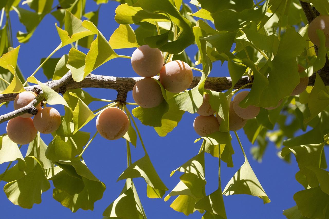 Outdoor - Inspirationen für Balkon und Garten - Ginkgo: Pflanzen, pflegen und ernten - so geht's einfach desmondo