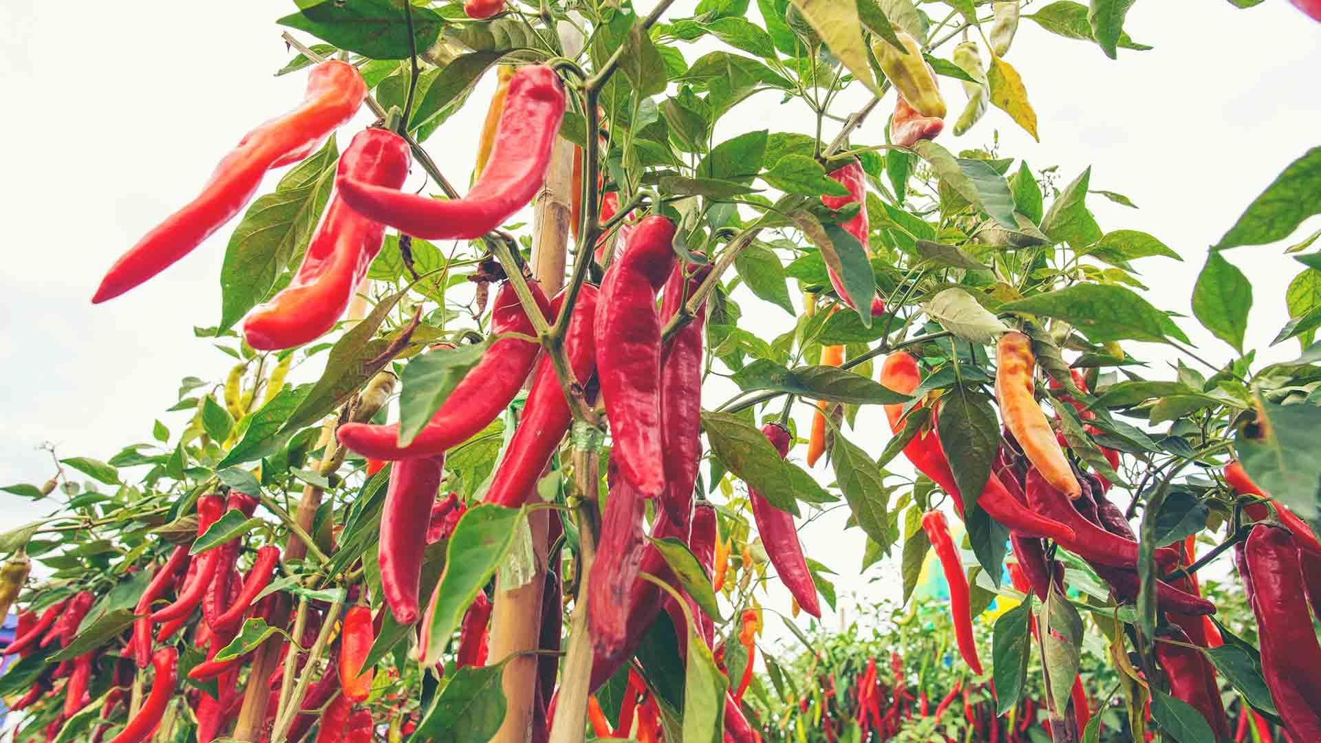 Chili pflanzen, pflegen, ernten. So geht's!