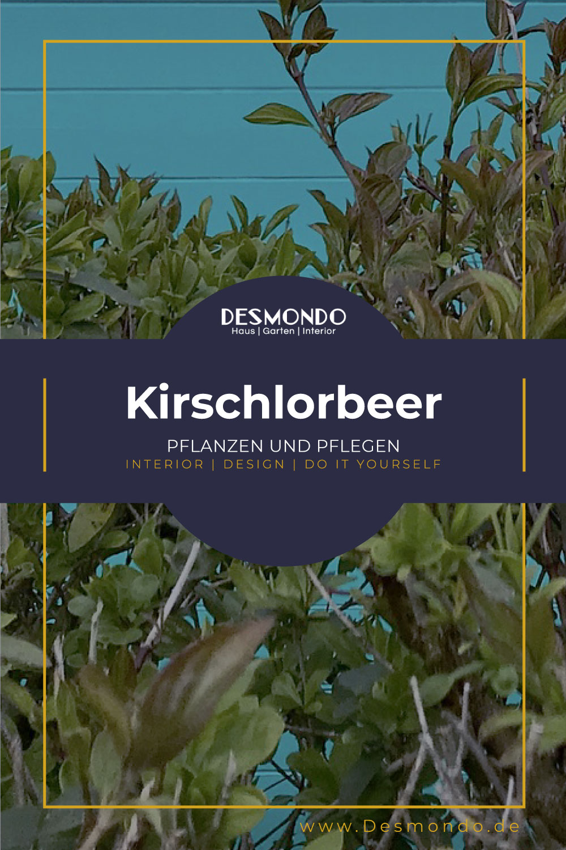 Outdoor - Inspirationen für Balkon und Garten - Das müsst ihr über Kirschlorbeer wissen - so geht's einfach Desmondo dein online Magazin und Shop
