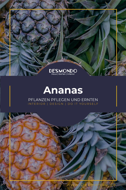 Indoor - Inspirationen für deinen Wohnraum - Ananas pflanzen - Auch im Haus! - so gehts einfach desmondo dein online magazin und shop
