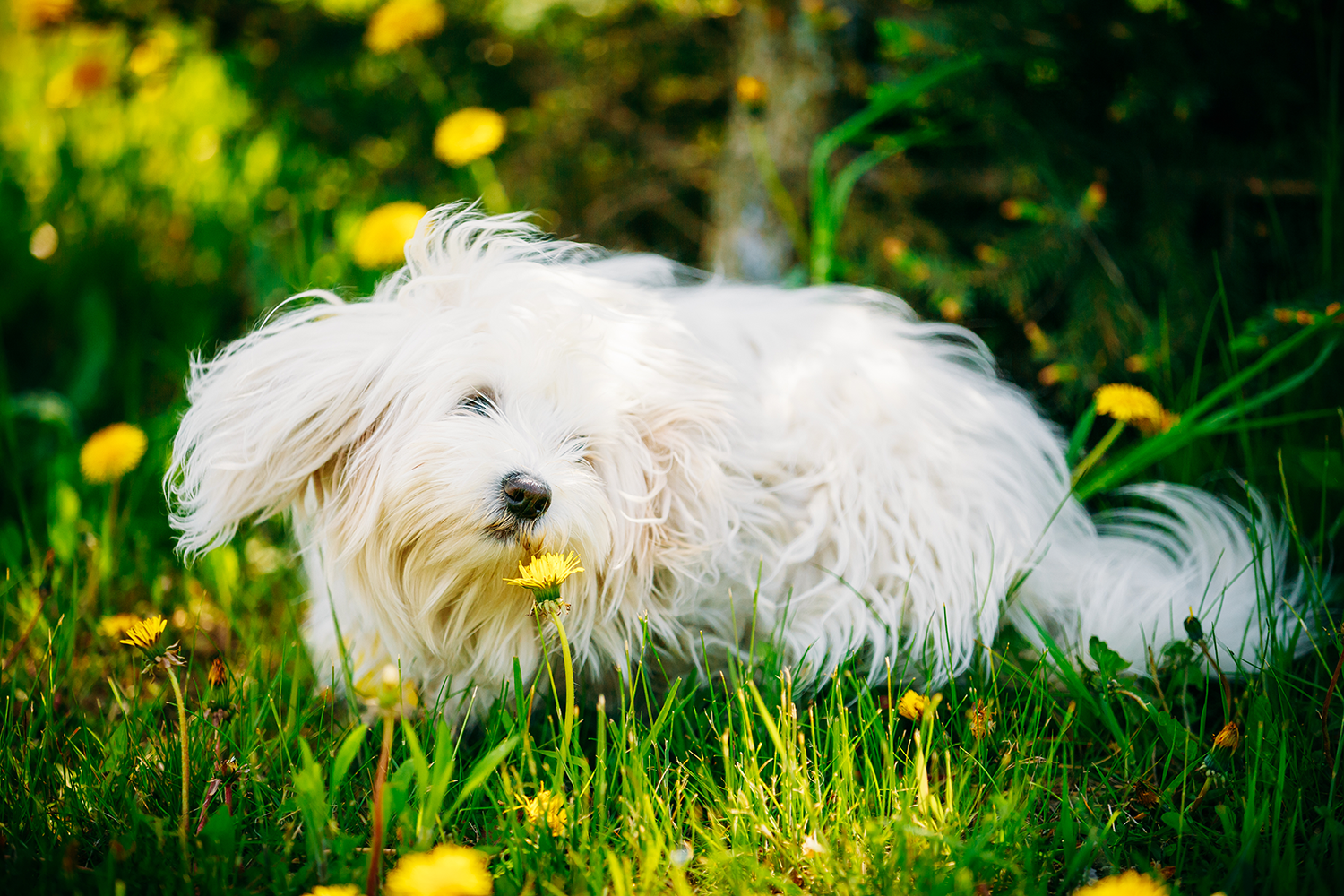 white dog in flower field sniffing flowers