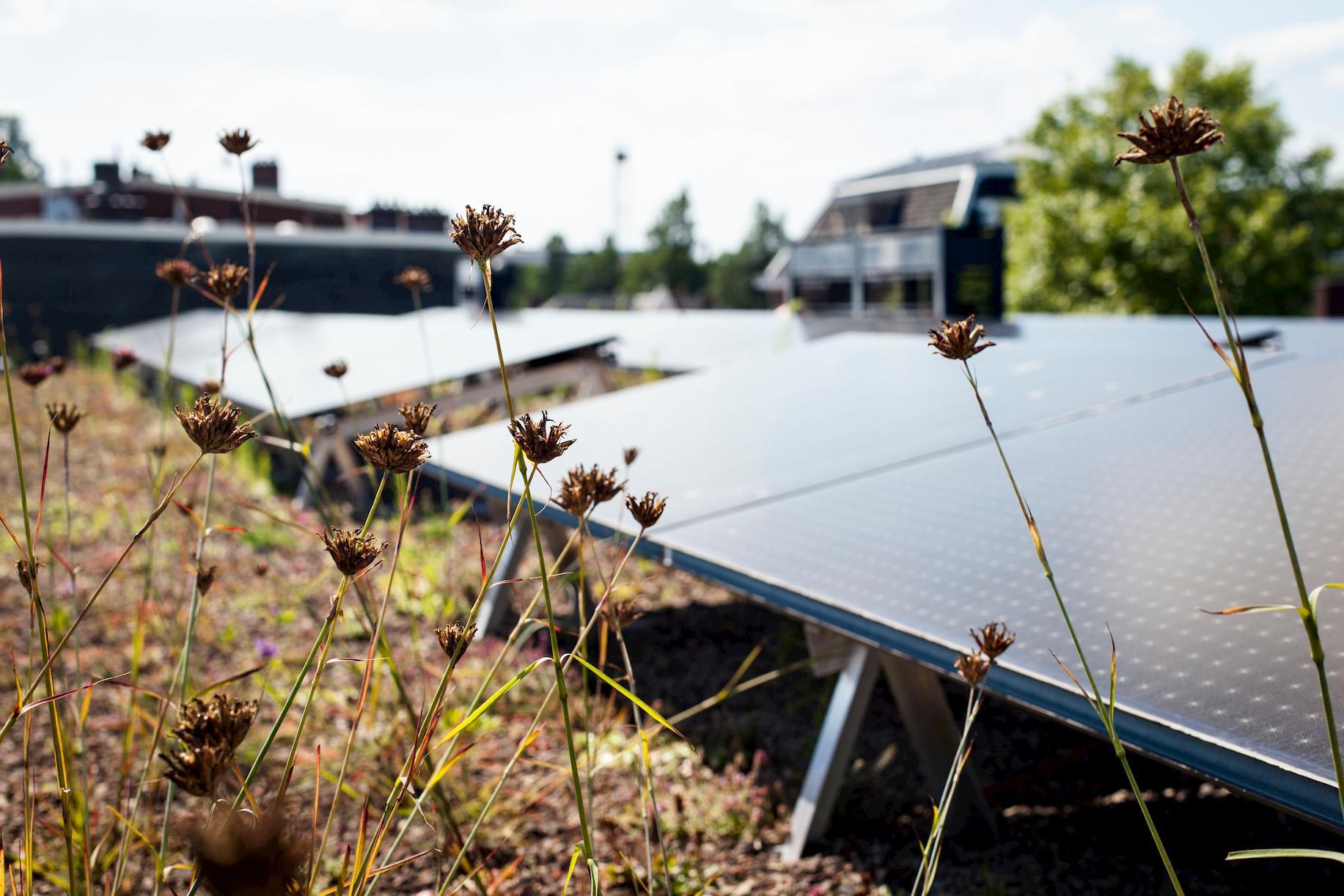 Close-up van Sedum vegetatie met zonnepanelen erachter