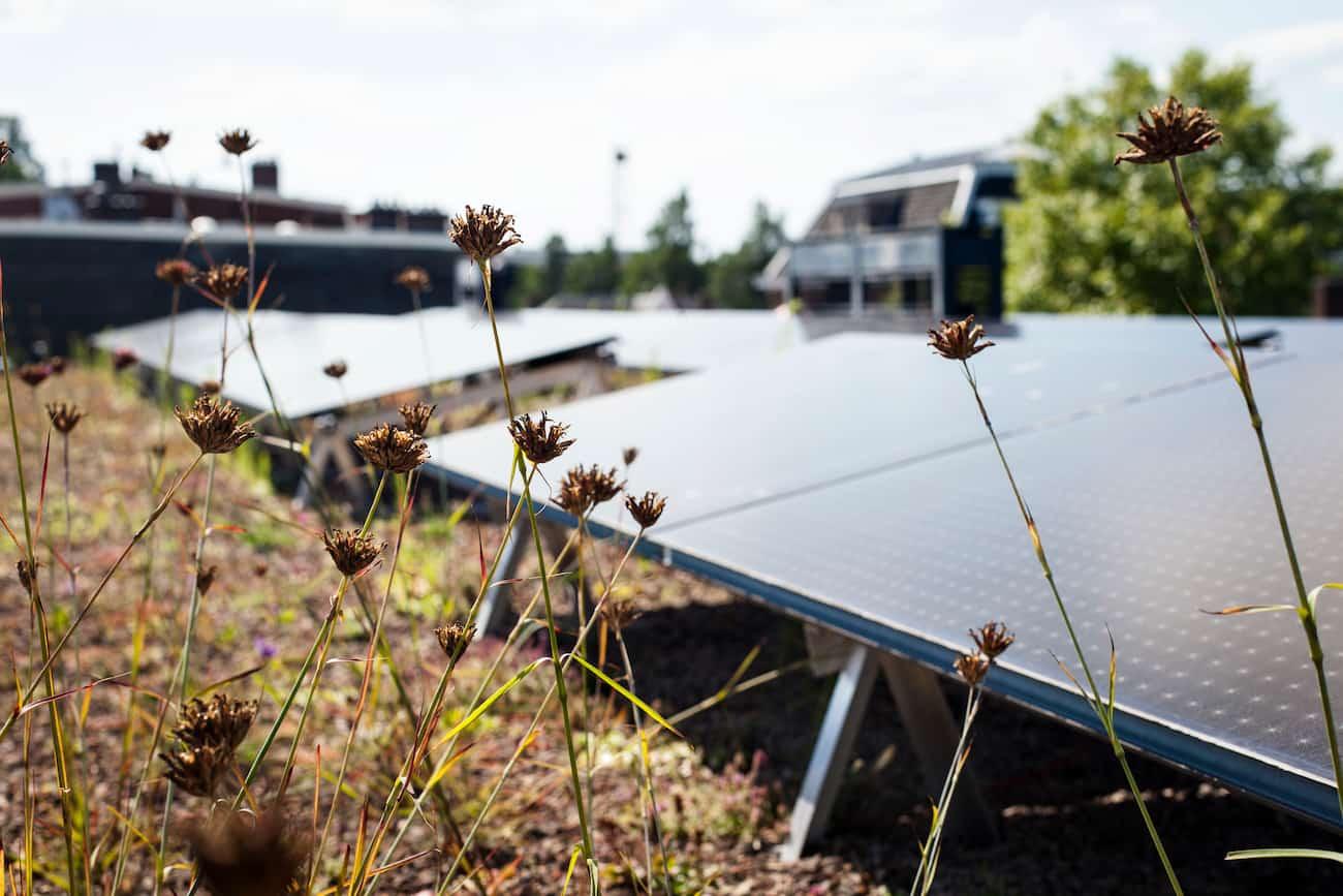 Close-up van Sedum planten met zonnepanelen erachter