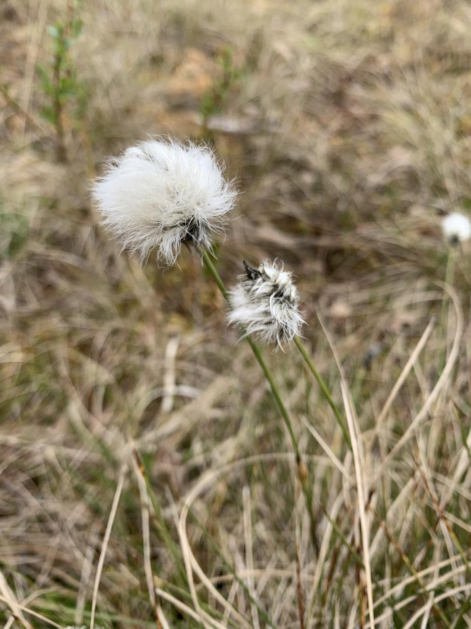 Tussock Cottongrass (Eriphorum vaginatum)