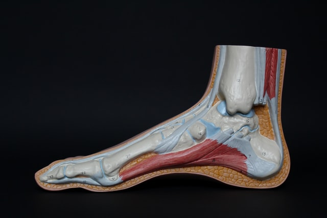 Medical model of a foot tendon showing internal muscle structure