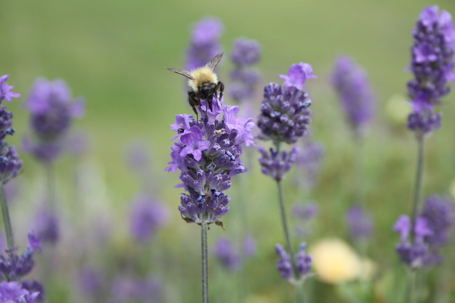 a bee settling on a lavender flower