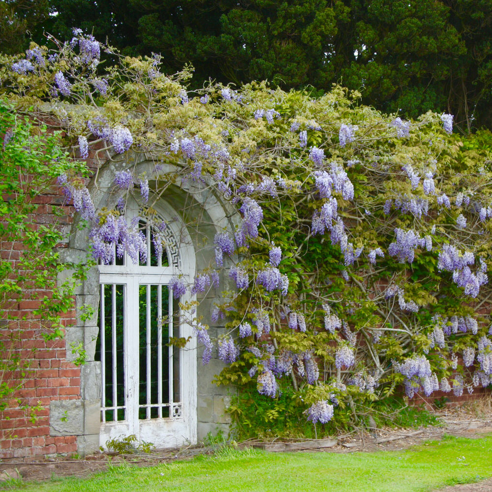 the garden wall covered in wisteria in bloom