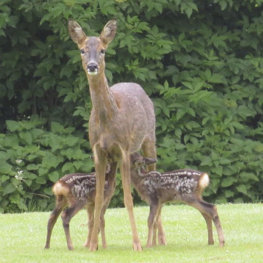 mother deer with young