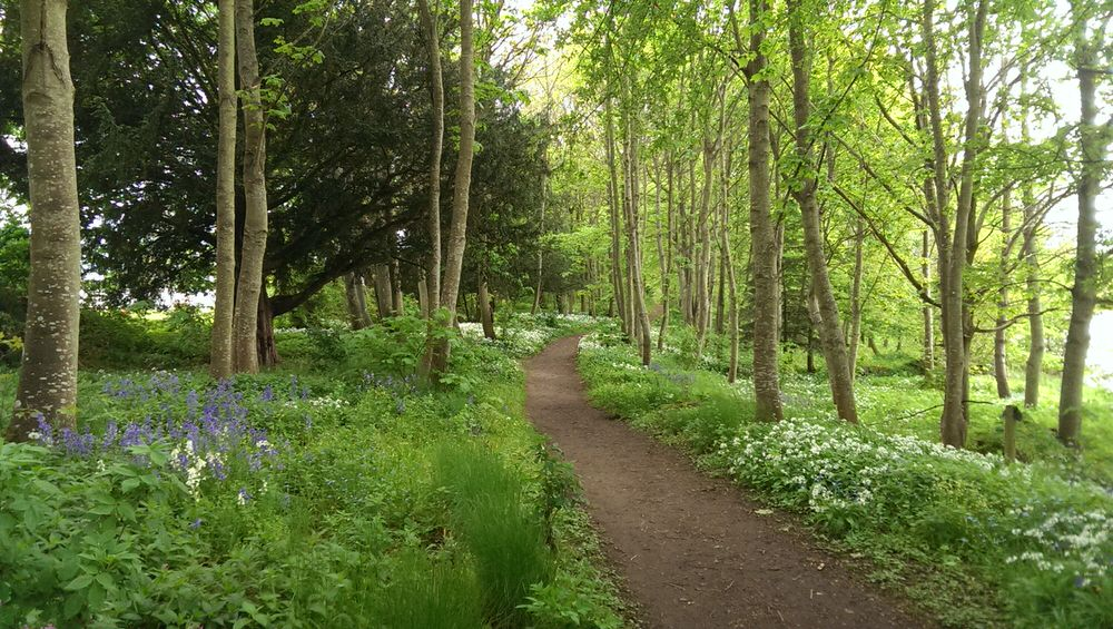 Bluebells and wild garlic amongst the trees
