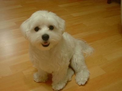 Maltese House Pet