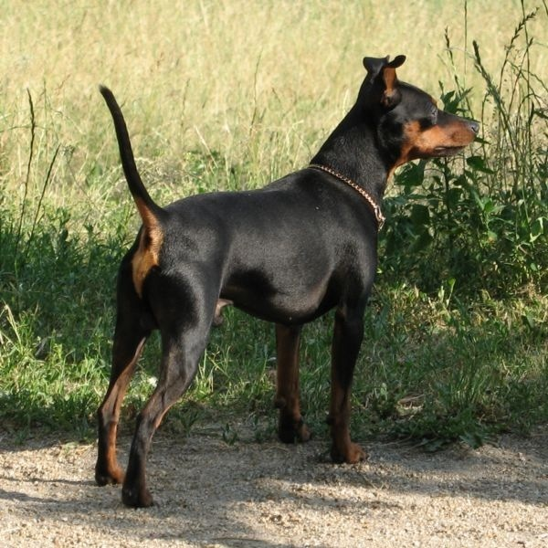 Pinscher with Problematic Behavior