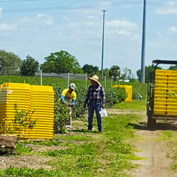 Time Portal - Blueberry Harvesting - Blueberry Farm Labor Payroll Software - Variable Buckets - H-2A Visa Program