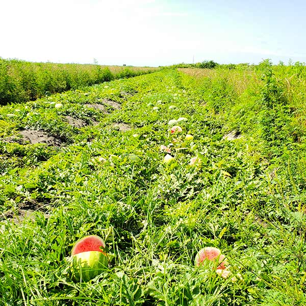 Time Portal - Melon Harvesting - Melon Farm Labor Payroll Software for Ag - HarvestPay - H2A Program