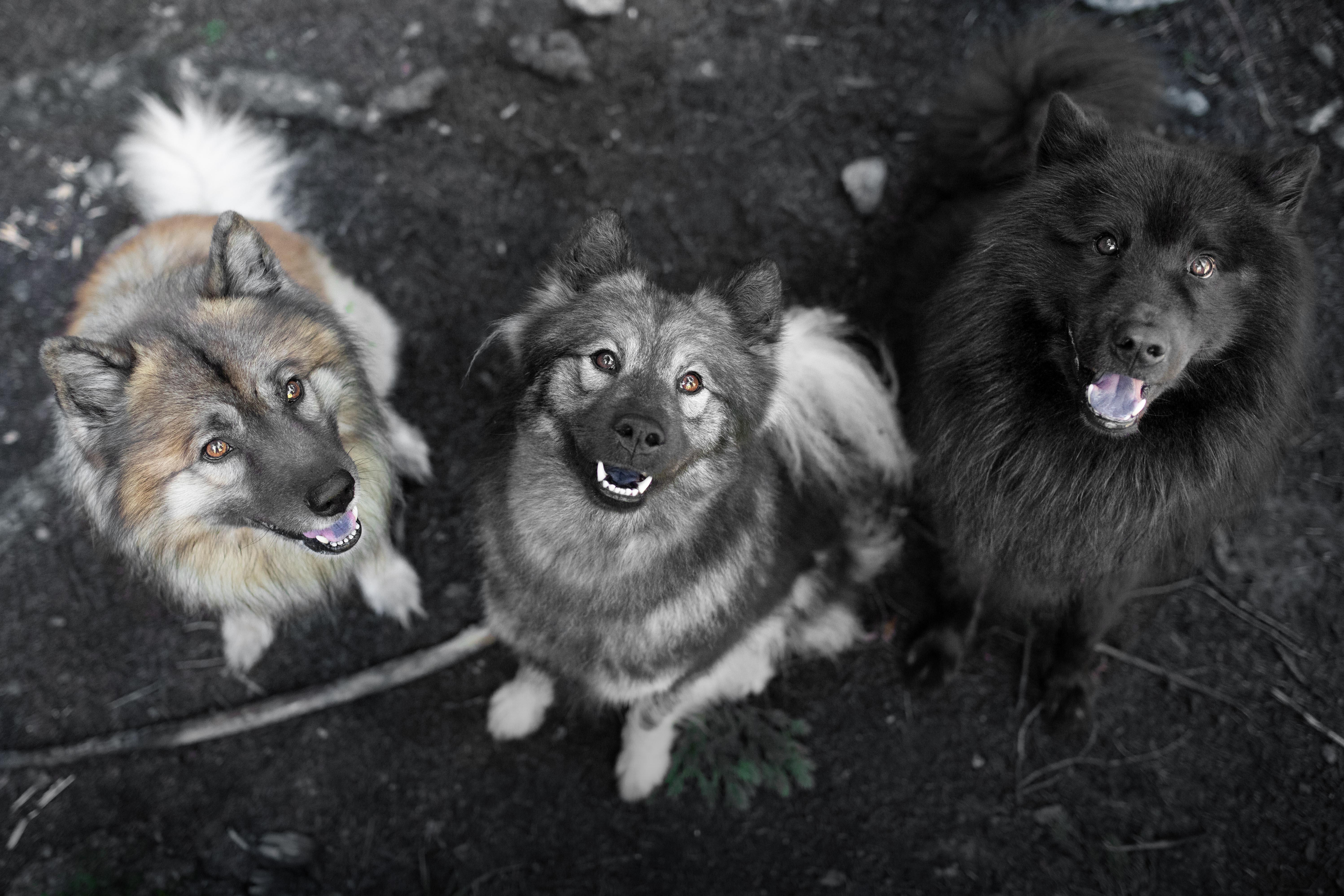 Eurasier - Diego, Juna, Khan