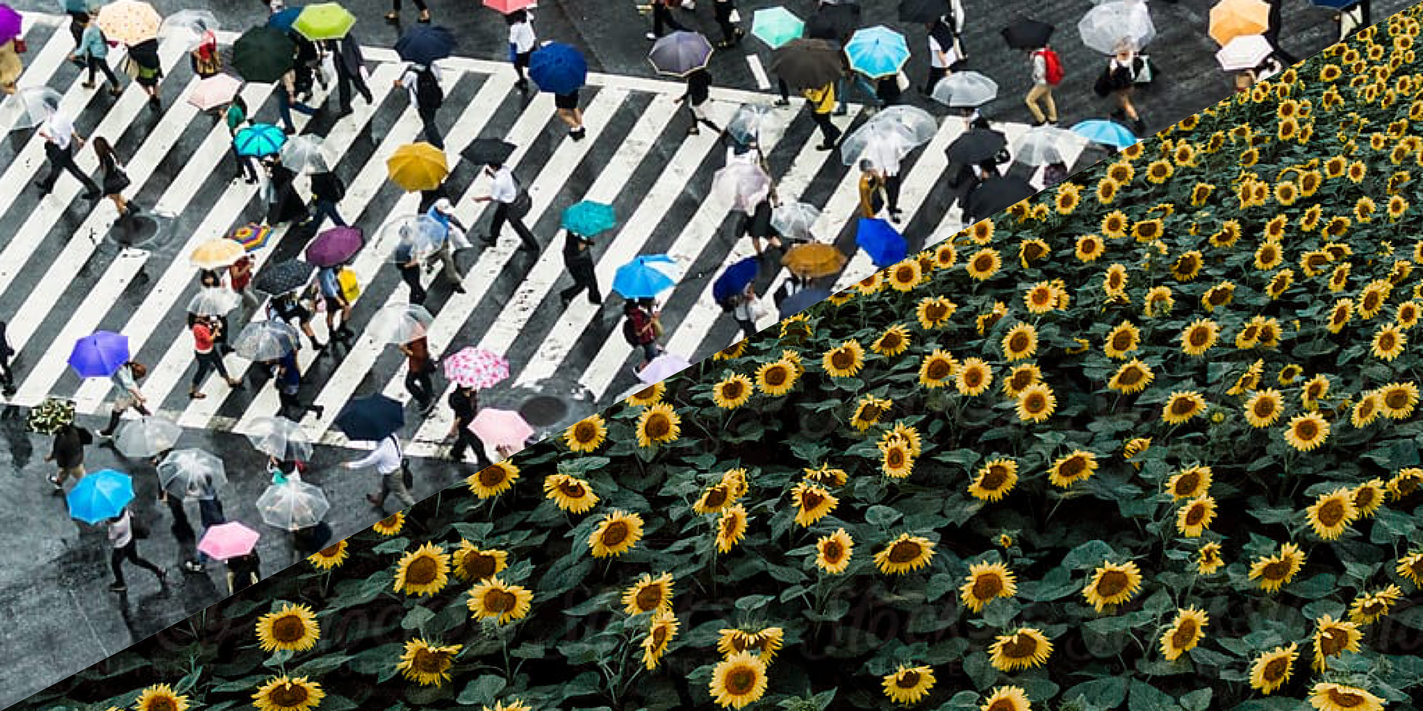 Split image of a sunflower field in contrast with a walkway full of people showing the environmental impact of consumers on the planet.