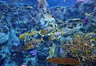 group of golden trevally