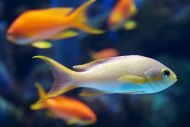 anthias close up