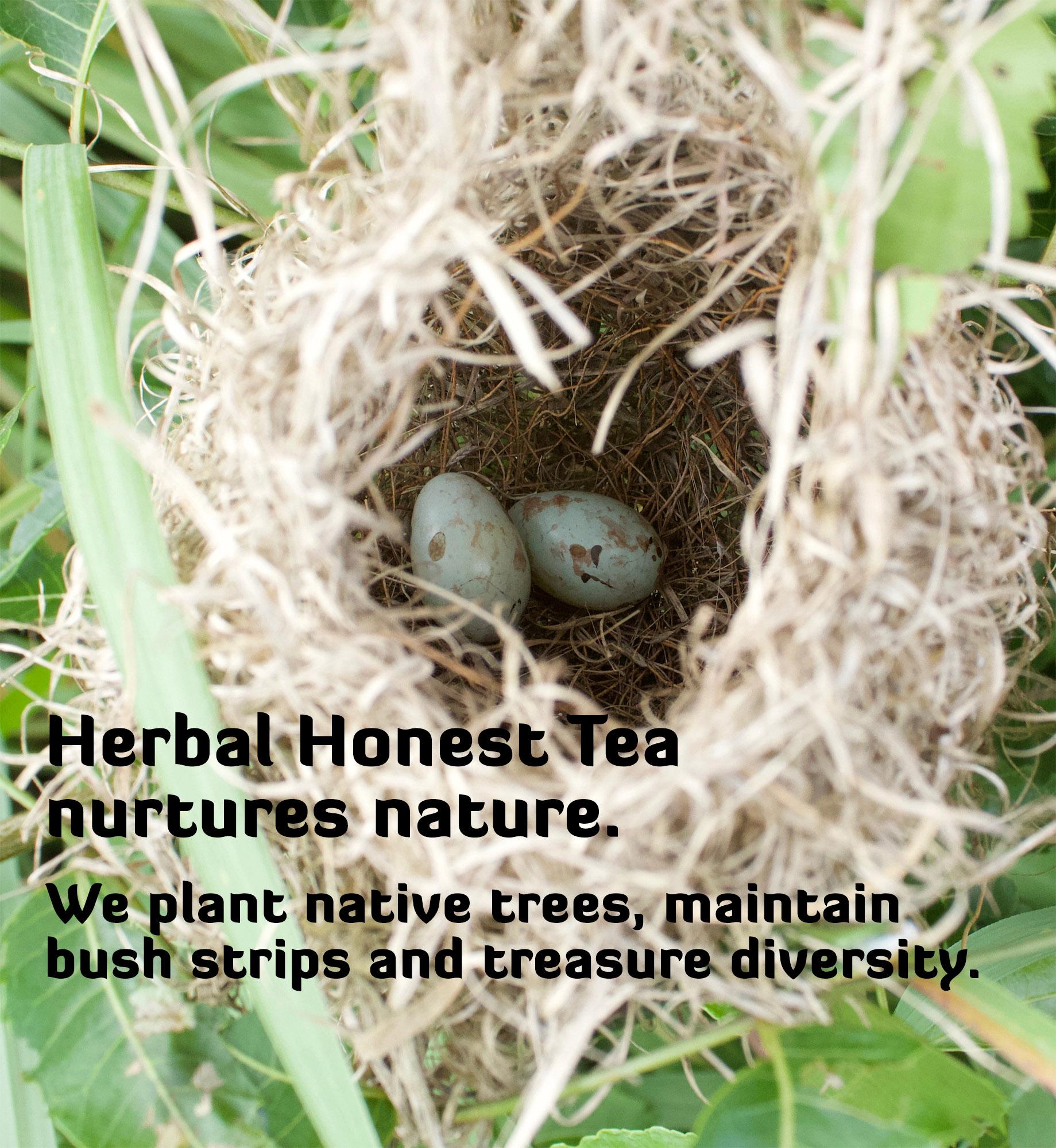 Two blue eggs in a nest in a lemongrass field.