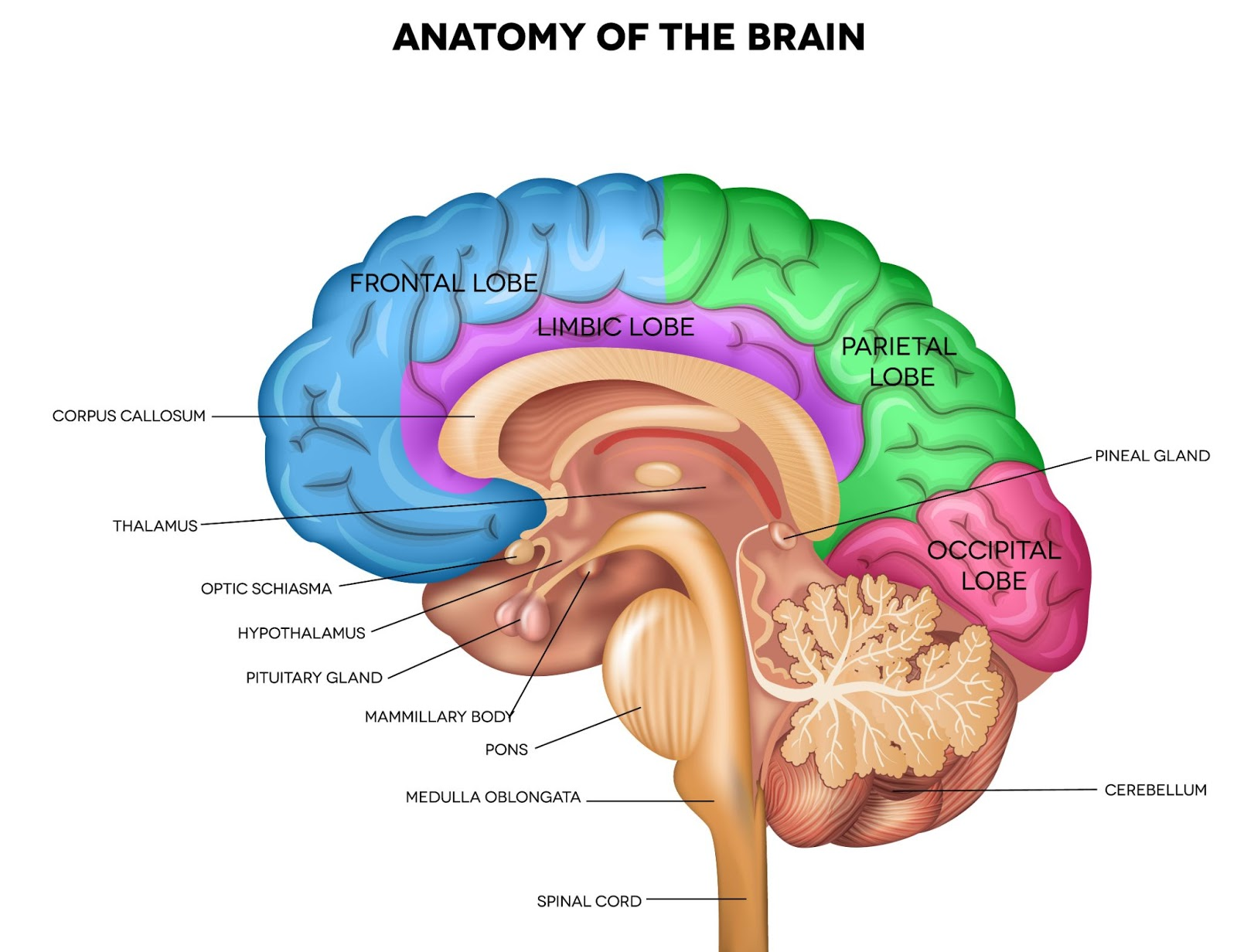 Sleep inertia: Anatomy of the brain