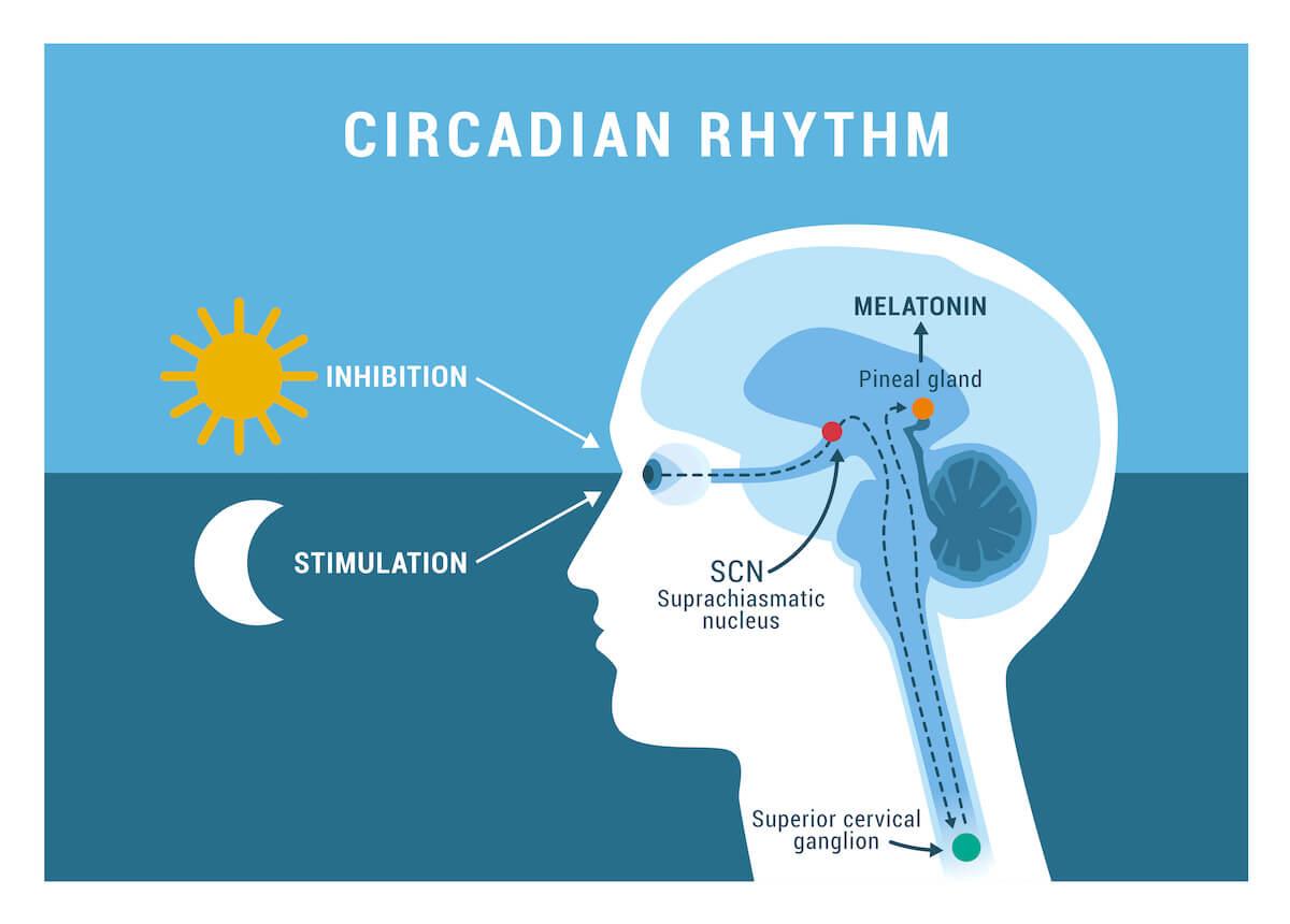 how long does melatonin last: infographic of the circadian rhythm