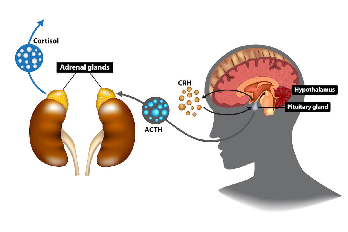 Cortisol and sleep: Hypothalamus, Pituitary gland, and Adrenal gland illustration
