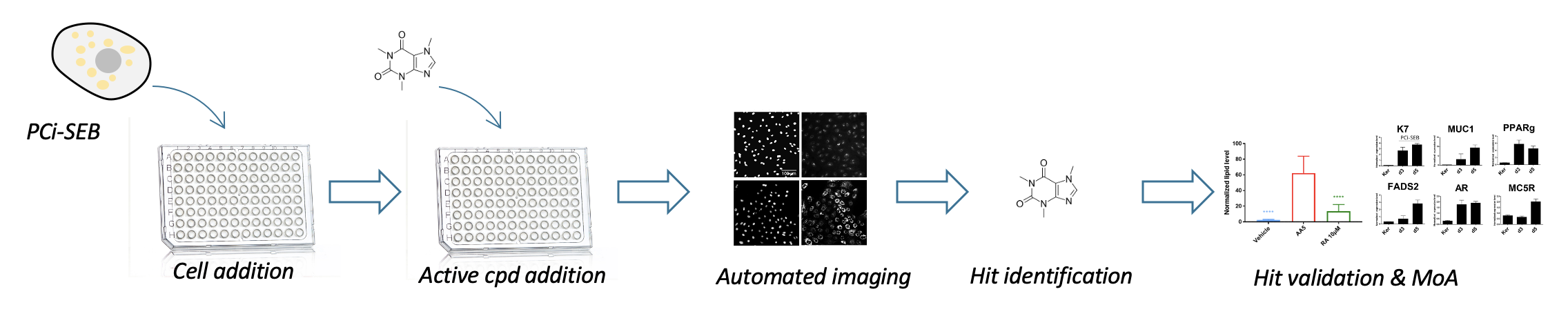Pattern of the high-throughput Imaging for sebocyte screening first compound addition in the 96 well plate, then automated imaging to identificate activity and last valide the mechanism of action