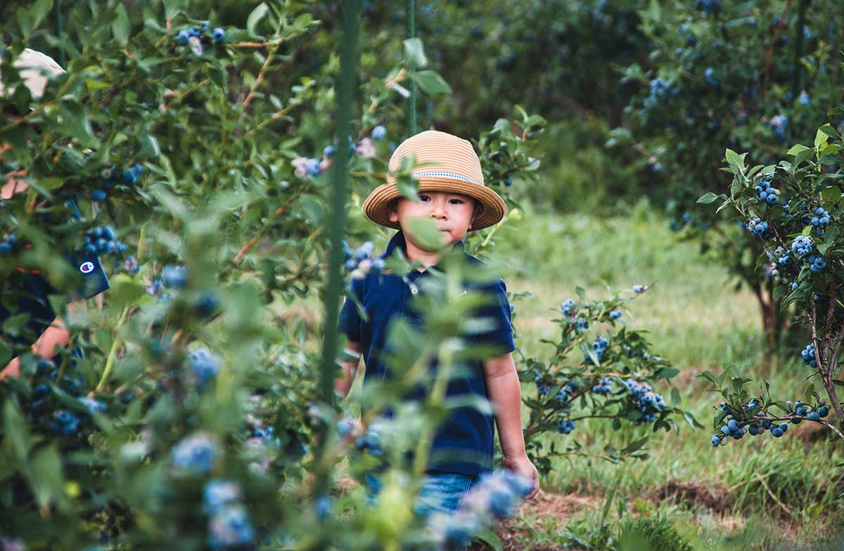 Young child picking blueberries on farm in summer