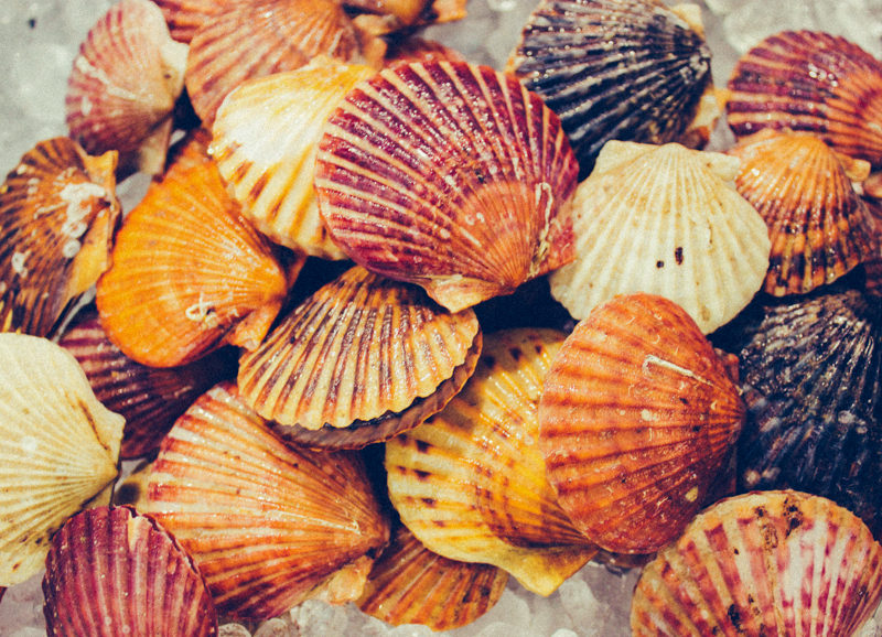 The Skinny On Bay Scallops Pangea Shellfish Company