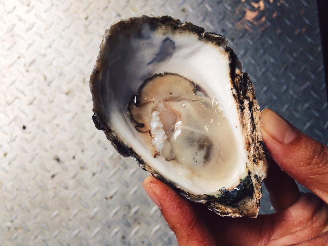 bristol bay oyster