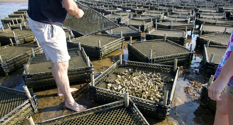 The Different Methods Of Growing Oysters Pangea Shellfish Company