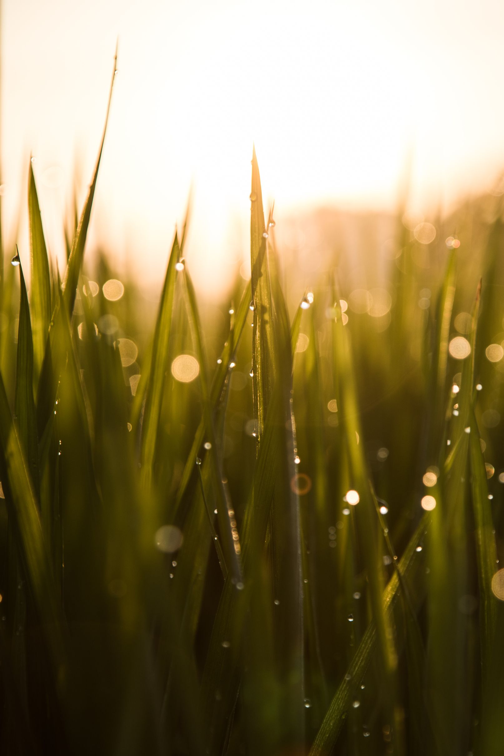 Water droplets on long grass.