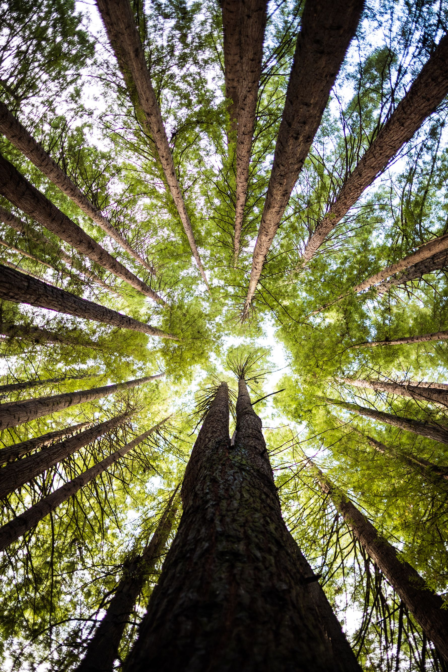 Looking up at the tree tops in a forest.