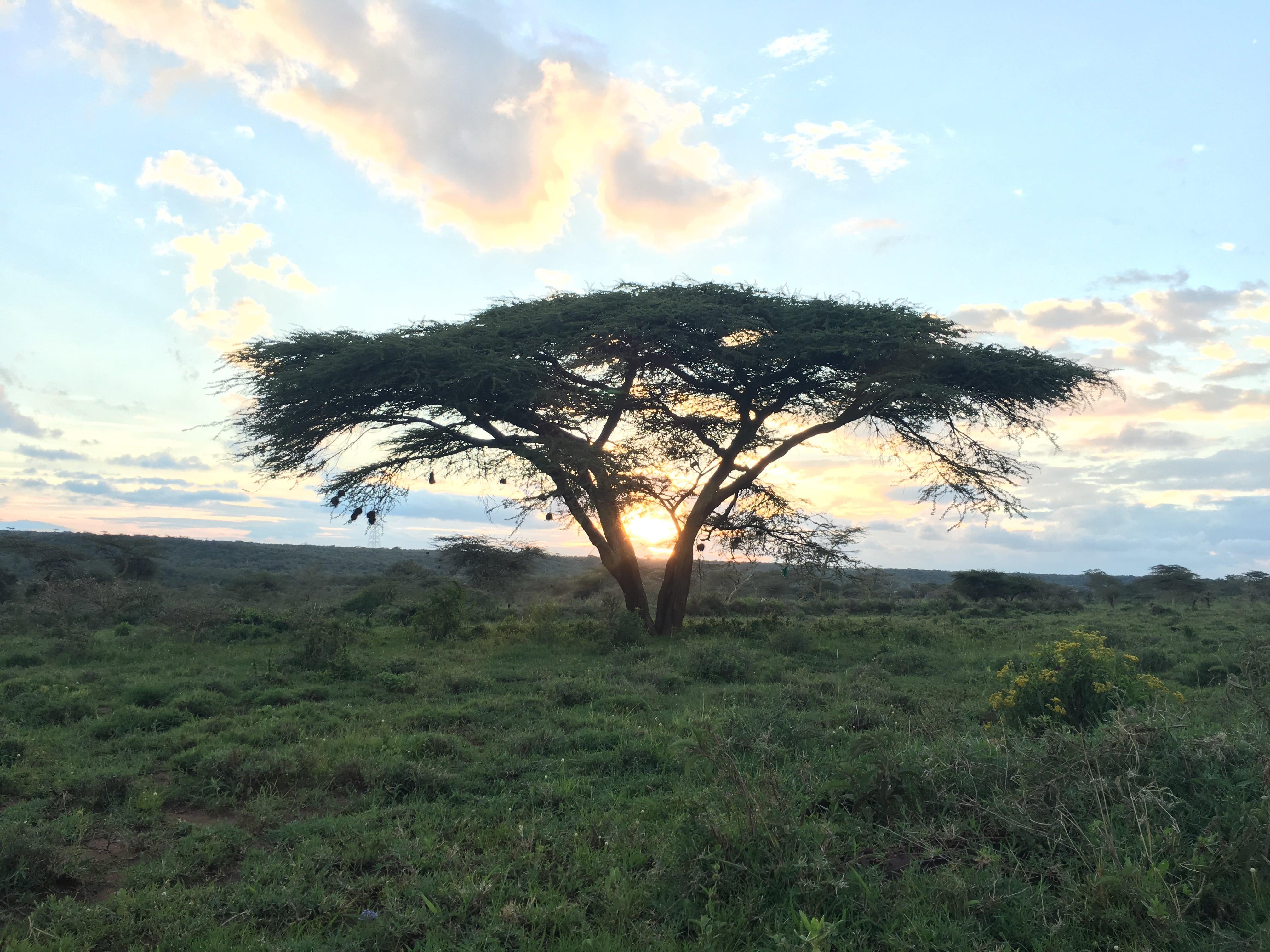 kenya tree